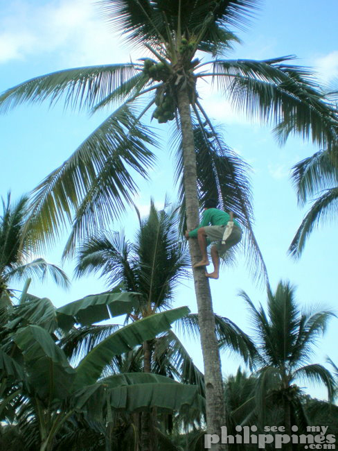 Climbing Coconut Tree
