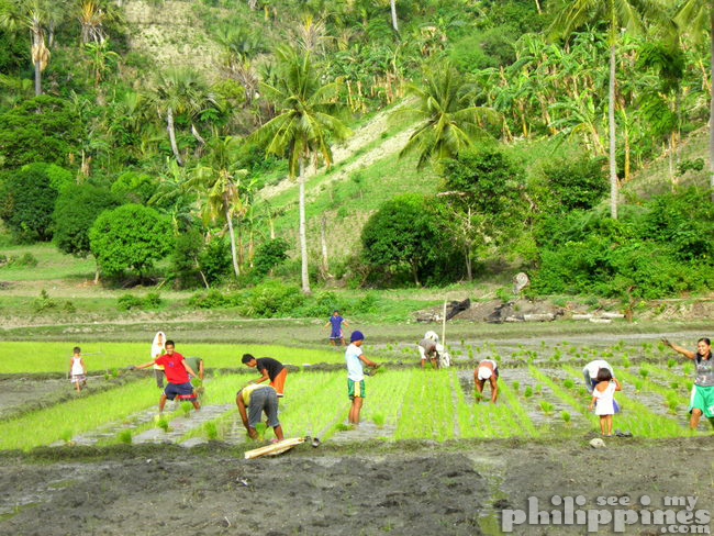 Planting Rice in Philippines